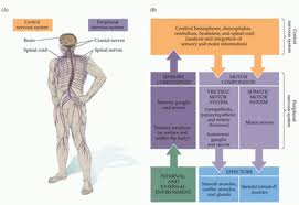 neuroscience and nerve system